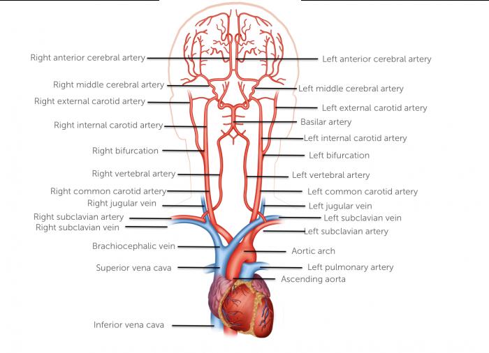 Vessels anatomy