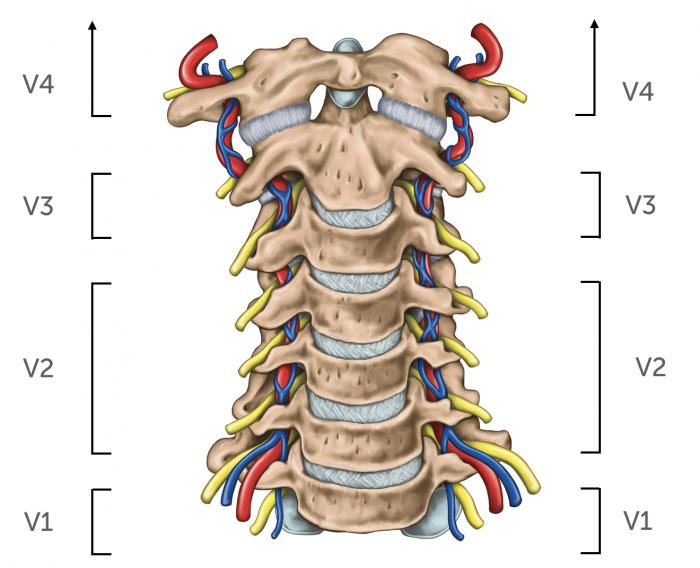Anatomy vertebral arteries