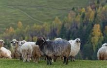 Sheep_Transylvania.jpg