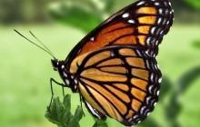 Viceroy_Butterfly.jpg