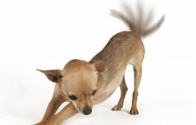 shutterstock_6205555_Dog%20Tail.jpg